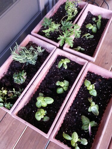 Basil and herb planters