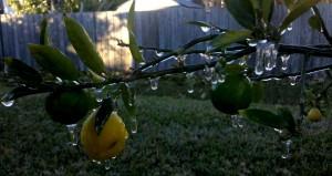 Key Lime / Limequat - Florida Frozen