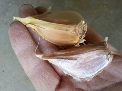 Growing Garlic in Pittsburgh, PA