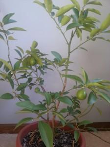 Indoor Limequat/Key Lime Tree