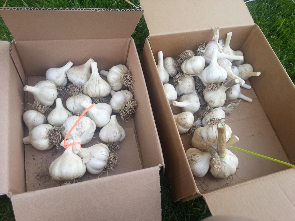 Cured Garlic Bulbs #gardening #growyourown #garlic