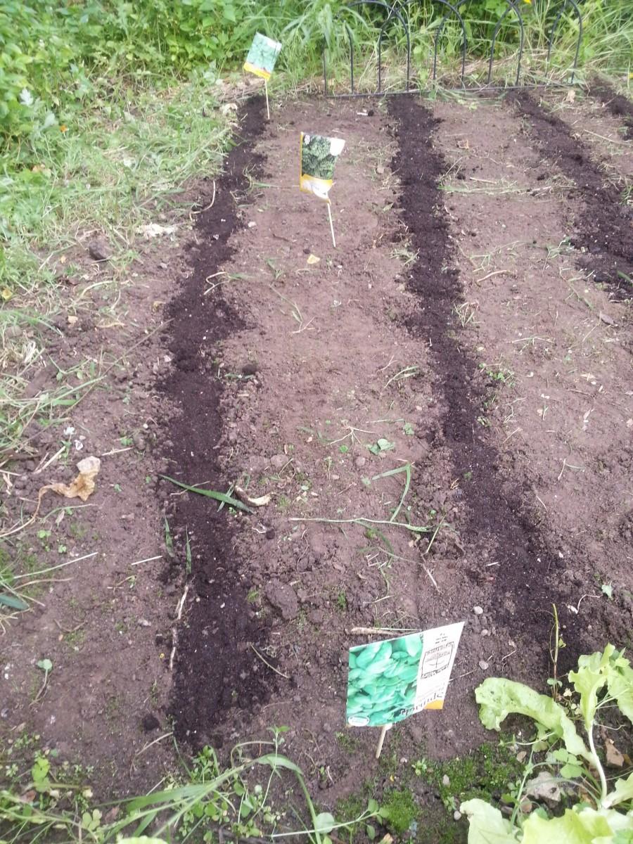 Spinach Showdown #gardening