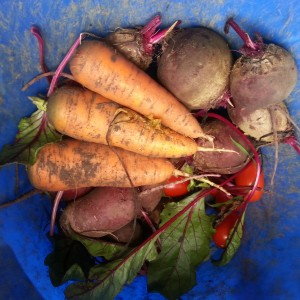 Late Summer Garden Haul #gardening Beets, carrots, tomatoes