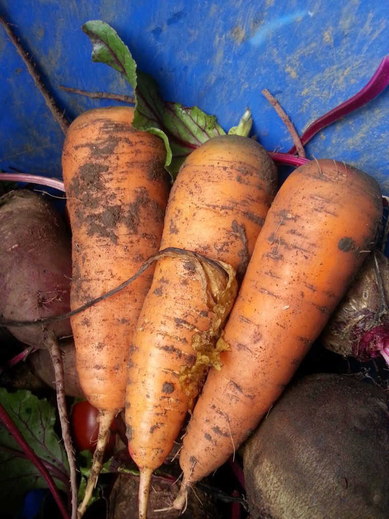 First carrots: Late Summer Garden Haul #gardening