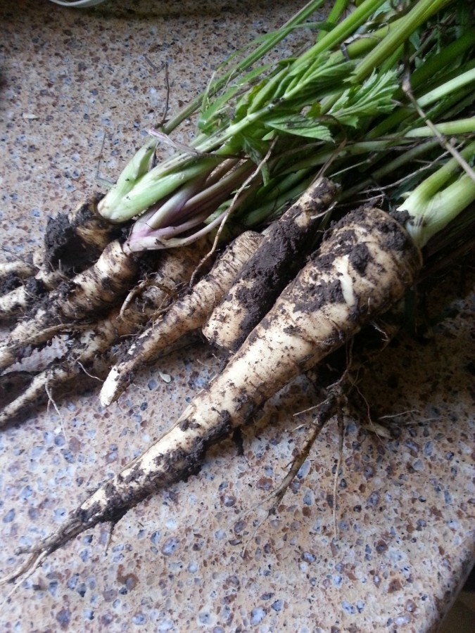 Parsnips grown from seed