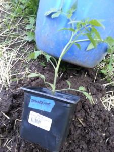 Tangerine Tomato Plant