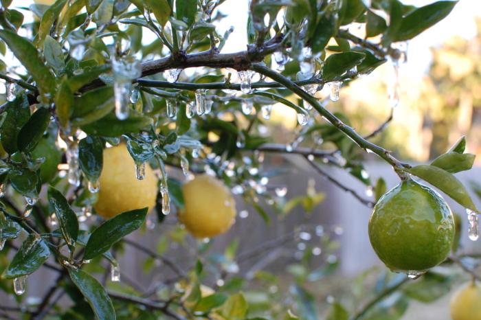 Frozen Key Lime/Limequat Tree