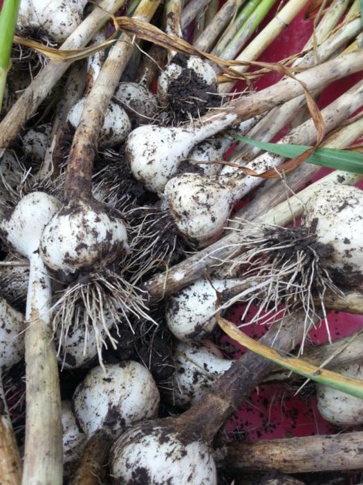 Garlic Harvest- 2017