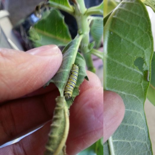 More monarch caterpillars
